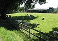 Sheep seeking shade - geograph.org.uk - 511228.jpg