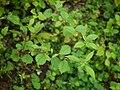 Sida alnifolia var. alnifolia (6185038315).jpg