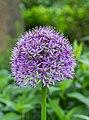 Sierui (Allium). Locatie, Tuinreservaat Jonkervallei 02.jpg