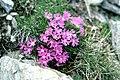 Silene acaulis ssp. longiscapa Vierh. (7567912468).jpg