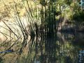 Silken stems thread quietly through the water's skin - panoramio.jpg