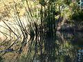 Silken stems thread quietly through the water's skin - panoramio.jpg