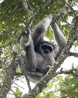 Silvery Gibbon (Hylobates moloch).jpg