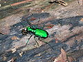 Six-spotted tiger beetle.JPG