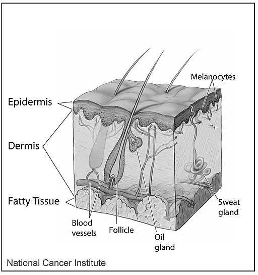 Skin (layers, glands, vessels)