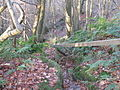 Slippery descent in Little Sheepwash Wood - geograph.org.uk - 1622367.jpg