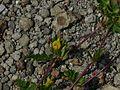 Smithia conferta Sm. (2895340689).jpg