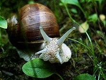 Escargot à la coquille brun roux