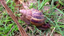 File:Snail moving on ground.webm
