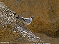 Snow Pigeon (Columba leuconota) (27412222491).jpg