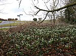 File:Snowdrops by the junction - geograph.org.uk - 1724014.jpg