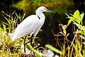 Snowy Egret, Everglades, Florida (Unsplash).jpg