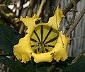 Solandra longiflora at BBG (50839).jpg