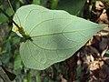 Solena amplexicaulis 04.JPG