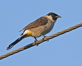 Sooty-headed Bulbul (Pycnonotus aurigaster) - Flickr - Lip Kee (1).jpg