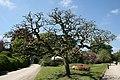 Sophora japonica tortuosa - Laeken (1).JPG