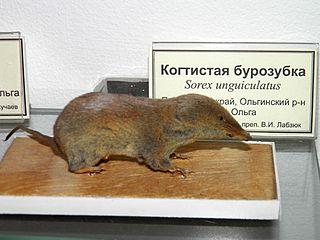 Long-clawed shrew species of mammal