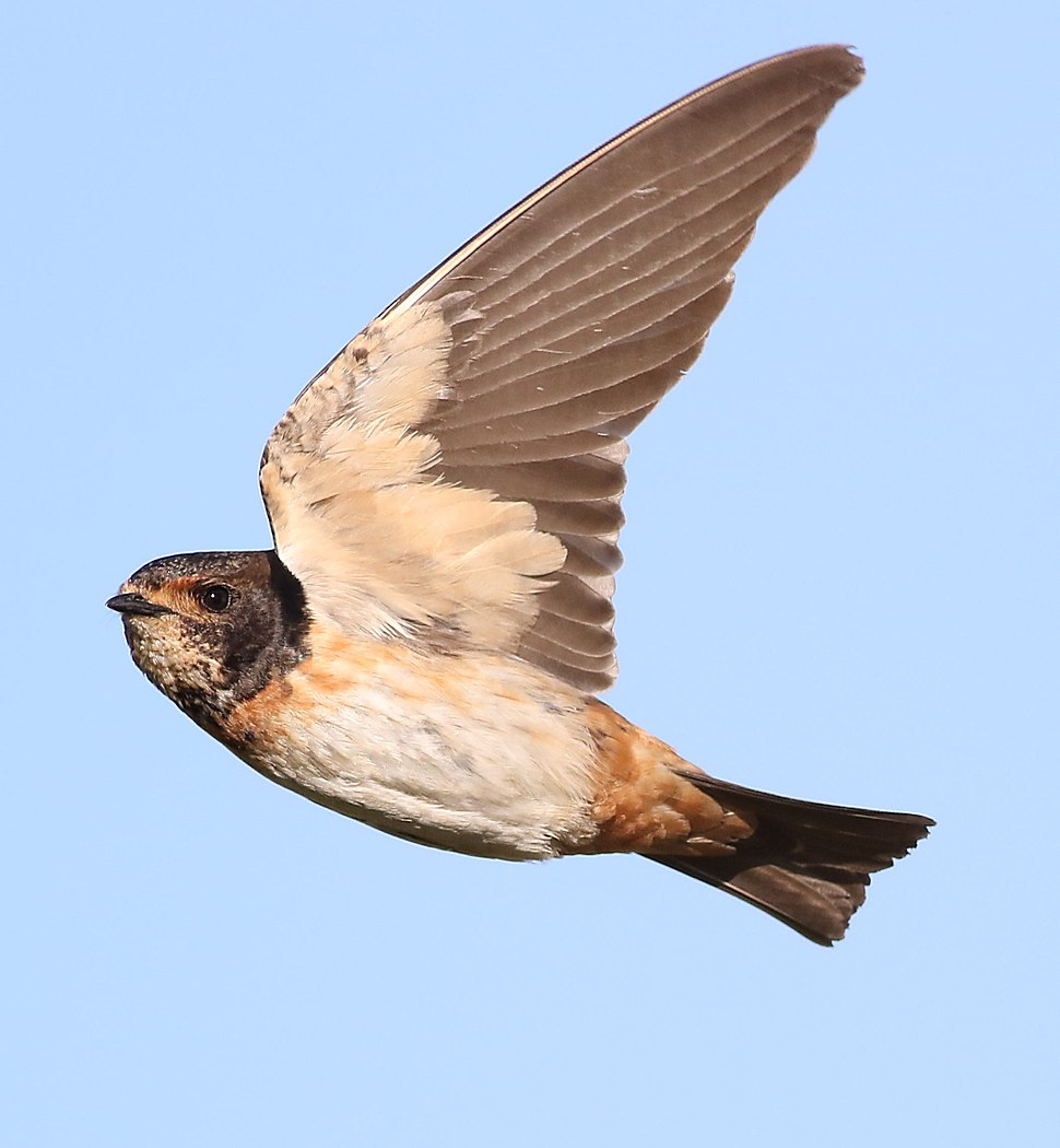 South African cliff swallow, Petrochelidon spilodera, at Suikerbosrand Nature Reserve, Gauteng, South Africa (22747098474)