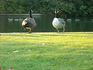 Southwark Park - Image: Southwark Park Boating Pond Wildlife