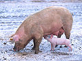 Sow with piglet 1.jpg