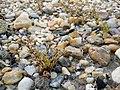 Spergularia marina sl54.jpg