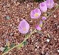 Sphaeralcea ambigua var rosacea 1.jpg