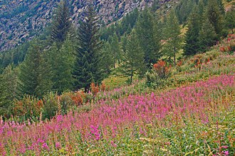 Hyles gallii - Habitat of Hyles gallii. La Thuile, Italy at about 2700 meters above sea level