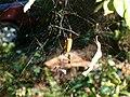Spider Araneae.jpg