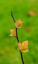 Spiraea japonica 'Goldflame' 07.jpg