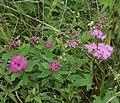 Spiraea japonica and Filipendula multijuga.jpg