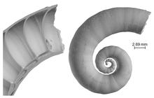 Spirula spirula shell 3D model.png
