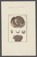 Spongia solida - - Print - Iconographia Zoologica - Special Collections University of Amsterdam - UBAINV0274 112 02 0043.tif