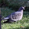 Spot-winged Pigeon (Patagioenas maculosa) (4857051098) (cropped).jpg