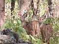 Spotted Deers in Jim Corbett National Park.jpg