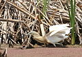 Squacco Heron, Ardeola ralloides at Marievale Nature Reserve, Gauteng, South Africa (15456040209).jpg