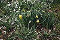 St Peter's Church, Shelley, Essex churchyard - daffodils and snowdrops.jpg