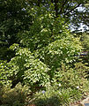 Staphylea pinnata A.jpg