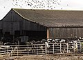 Starlings flocking around Cattle - geograph.org.uk - 126303.jpg