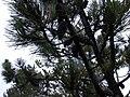 Starr-010515-0120-Pinus pinaster-cones-Hosmers Grove HNP-Maui (24164848849).jpg