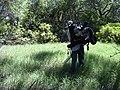 Starr-030626-0024-Cynodon dactylon-gas aspirator with Forest-Kahului-Maui (24527414192).jpg