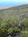 Starr-030628-0016-Bocconia frutescens-habit-Auwahi-Maui (24527470052).jpg