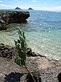 Starr-050223-4265-Conocarpus erectus-habit-Popoia-Oahu (24644671951).jpg