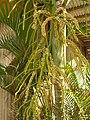Starr-060922-9185-Chrysalidocarpus lutescens-flowers-DLNR baseyard Kahului-Maui (24498214789).jpg