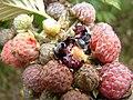 Starr-070621-7489-Rubus niveus-form a fruit-Upper Kimo Dr Kula-Maui (24772002252).jpg
