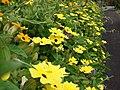 Starr-080716-9359-Thunbergia alata-cv Sundance yellow flowers-Enchanting Gardens of Kula-Maui (24556424569).jpg