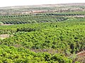 Starr-090714-2669-Coffea arabica-crop-Kaanapali-Maui (24943223846).jpg
