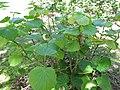 Starr-091104-8950-Piper postelsianum-habit-Kahanu Gardens NTBG Kaeleku Hana-Maui (24692870040).jpg