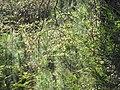 Starr-100303-3187-Rubus niveus-thick habit with pines saplings under burnt trees-Polipoli-Maui (24715822660).jpg
