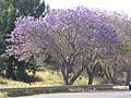 Starr-100504-5884-Jacaranda mimosifolia-flowering habit and road-Kula Hwy Kula-Maui (25037436115).jpg
