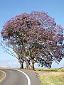 Starr-100505-5981-Jacaranda mimosifolia-flowering habit and road-Kula-Maui (24410795693).jpg